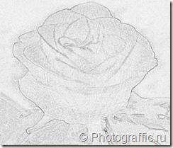 роза_001